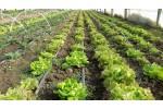 *Salată verde de la țară