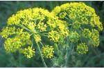 Flori de marar uscate